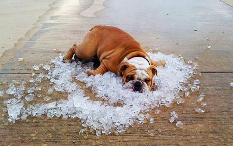dog laying in ice cubes