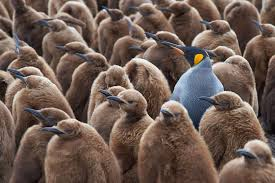 one male penguin in a shot of females